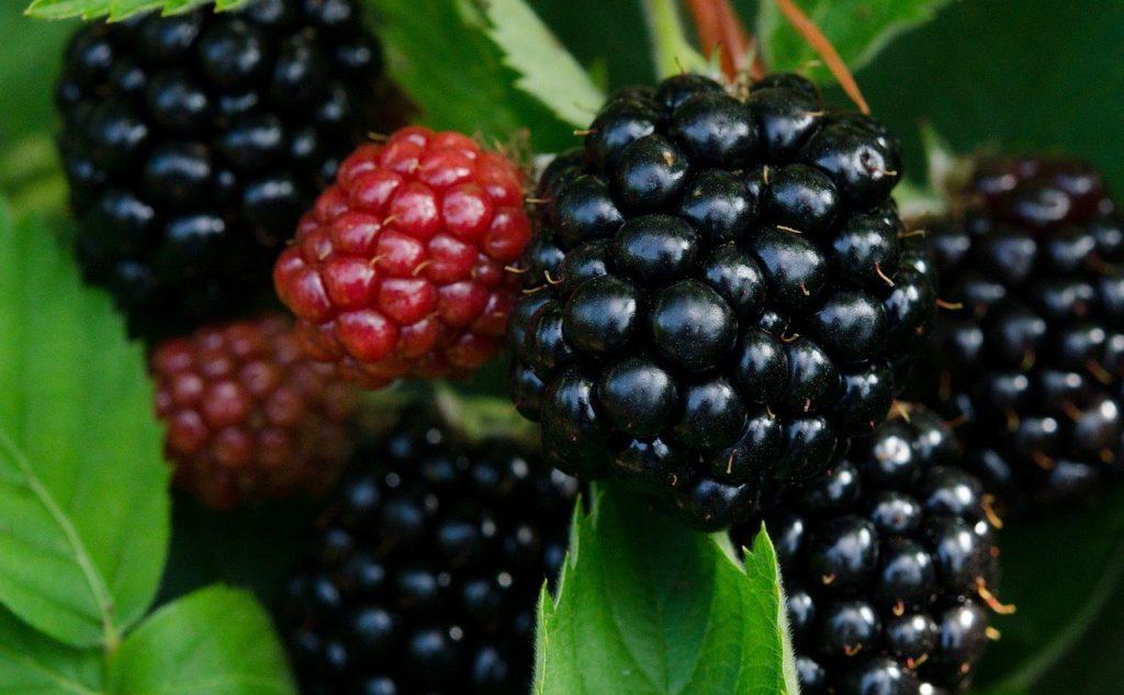 bramen-jam-blackberry-frankrijk-zelf maken- bramenstruik